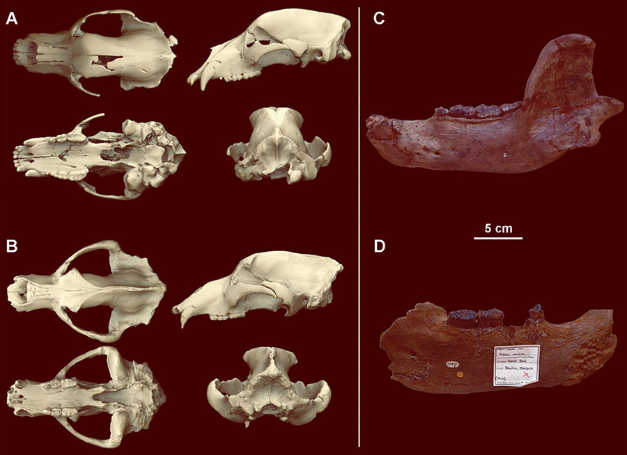 (A) a subadult male cranium of Ursus deningeri from Sima de los Huesos, Spain, in different views compared to (B) an adult male cranium of Ursus spelaeus; (C, D) mandibles of Ursus deningeri. Image credit: van Heteren et al, doi: 10.1080/08912963.2018.1487965.