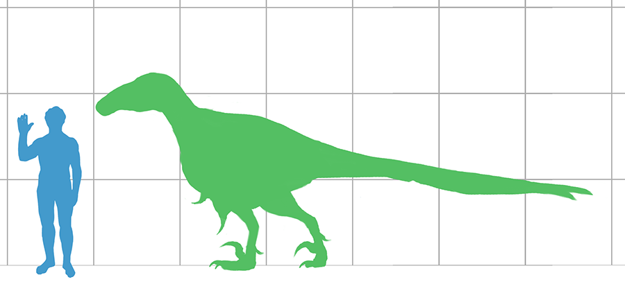 Size of the largest-known individual of Utahraptor, compared with a human