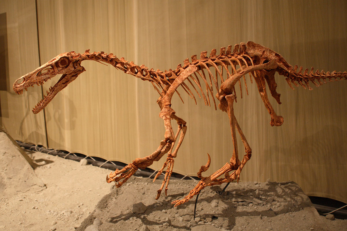 Restored V. mongoliensis skeleton in Japan