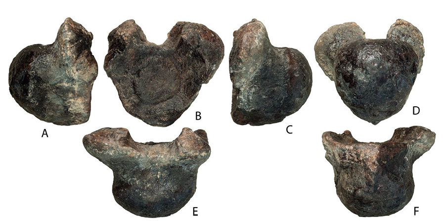 Volgatitan simbirskiensis anterior caudal vertebra (holotype), in right lateral (A), anterior (B), left lateral (C), posterior (D), dorsal (E), and ventral (F) views; photographs. Credit: Alexander Averianov and Vladimir Efimov