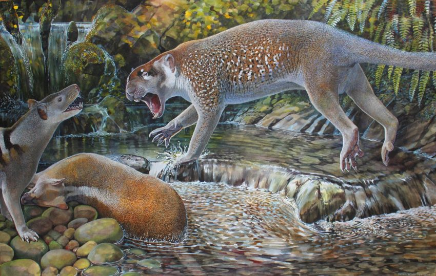 Reconstruction of Wakaleo schouteni challenging the thylacinid Nimbacinus dicksoni over a kangaroo carcass in the late Oligocene forest at Riversleigh, Australia. Image credit: Peter Schouten.