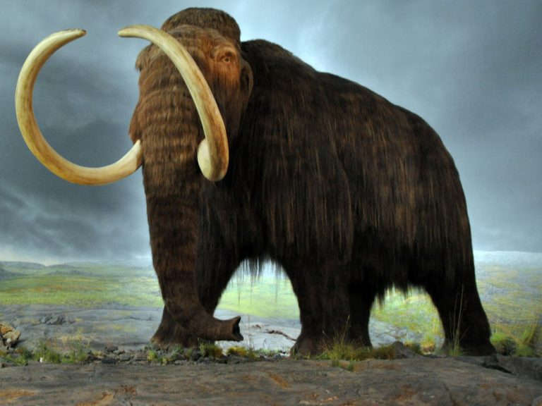 Woolly Mammoth Model at the Royal BC Museum