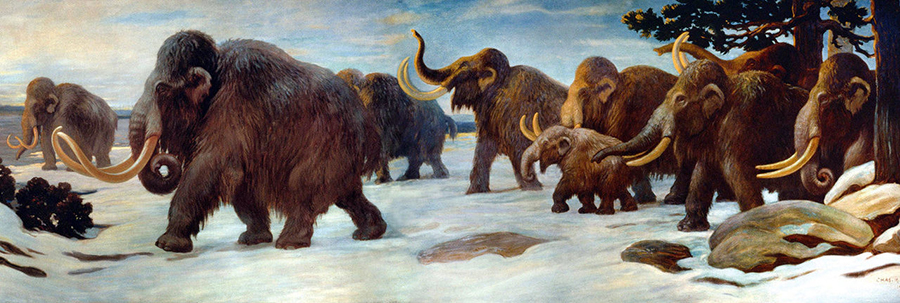 Woolly mammoths in a mural at the American Museum of Natural History in New York. CHARLES R. KNIGHT/PUBLIC DOMAIN