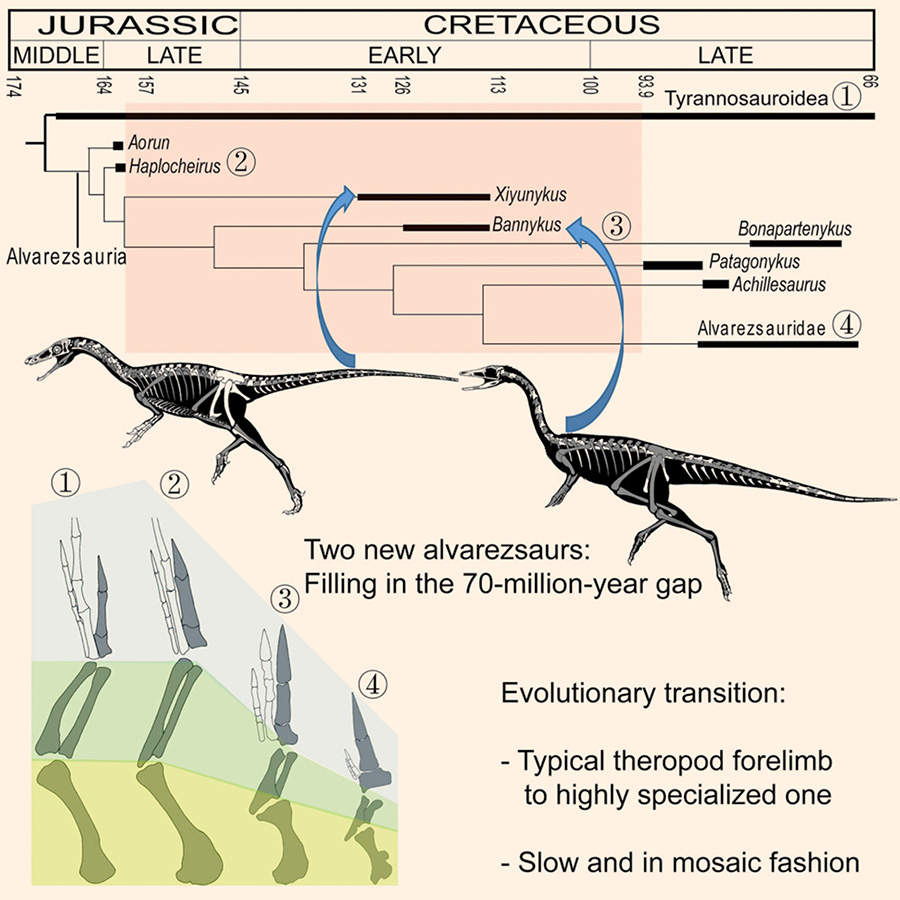 Xu et al report two new Early Cretaceous alvarezsaurian theropods representing transitional stages in alvarezsaurian evolution. The analyses indicate that the evolutionary transition from a typical theropod forelimb configuration to a highly specialized one was slow and occurred in a mosaic fashion during the Cretaceous period. Image credit: Xu et al, doi: 10.1016/j.cub.2018.07.057.