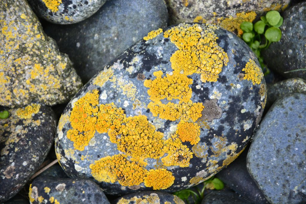 Yellow and black lichen on water worn rock, Macquarie Island. (Photo: Barry Becker)