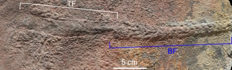 Yilingia spiciformis fossil and associated tracks. Image: NIGPAS