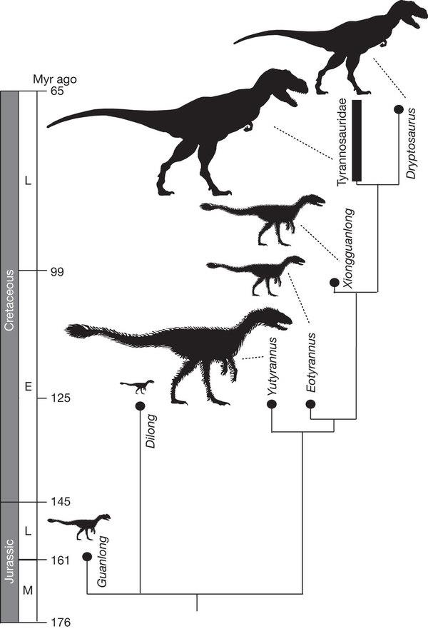 A simplified cladogram showing the systematic position of Y. huali among the Tyrannosauroidea.  Xu, X., Wang, K., Zhang, K., Ma, Q., Xing, L., Sullivan, C., Hu, D., Cheng, S., and Wang, S. 2012. A gigantic feathered dinosaur from the Lower Cretaceous of China.