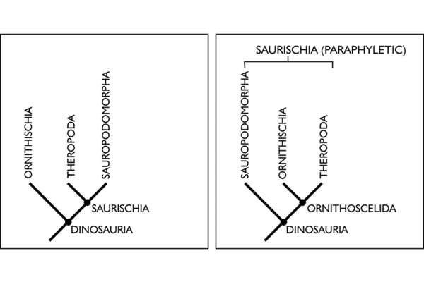 "Left: The traditional dinosaur family tree, with sauropods and theropods (both considered ""lizard-hipped"" dinosaurs) more closely related than ornithischians (""bird-hipped"" dinosaurs). Right: The dinosaur family tree proposed by Baron et al. in March, 2017. Here, ornithischians (like Stegosaurus, Triceratops, Iguanodon) share a branch with theropods (like Tyrannosaurus). The long-necked sauropods (like Diplodocus) have their own branch. Courtesy of the University of Cambridge"