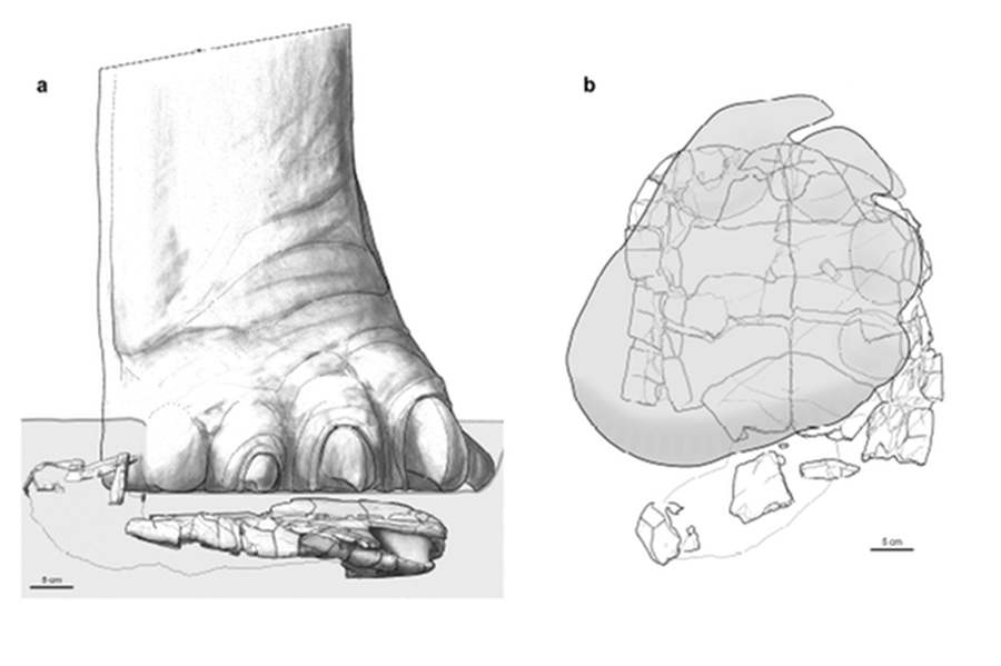 Suggested reconstruction of a sauropod dinosaur foot stepping onto the turtle.  (Paleorxiv Papers)