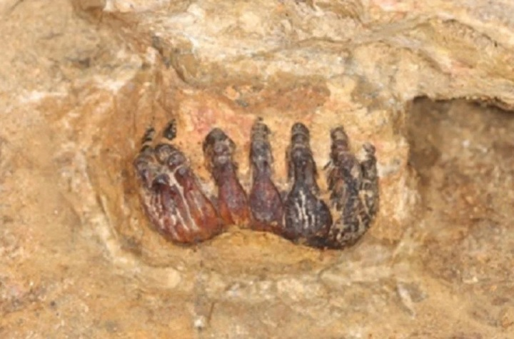 The 30,000 year old stegodon fossil discovered in a limestone cave in Gopeng, Perak. (Credit: UM via Berita Harian)