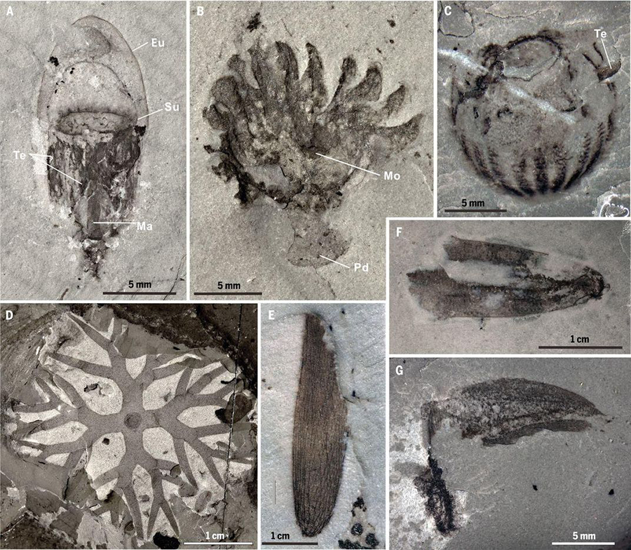 (A) Leanchoilia sp., showing fine anatomical details, including those of the great appendages. (B) New megacherian preserved with internal soft tissues. (C) A possible kinorhynch scalidophoran, with segmented body armored by scalids. (D) Lobopodian. (E) Priapulid worm. (Dongjing Fu et al., Science 363:1338 (2019))