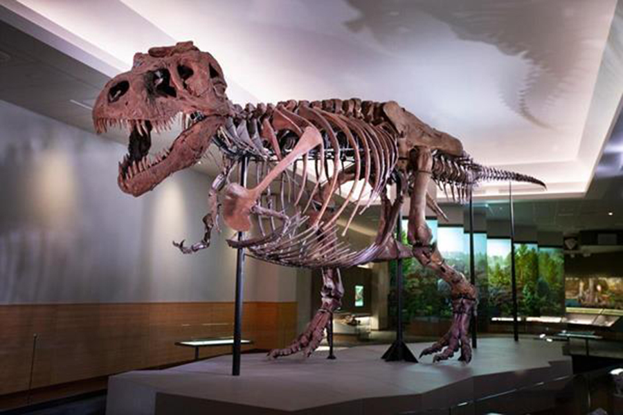 Sue has new digs, more bones and a new pose in its new exhibit opening Friday at the Field Museum. | Field Museum/Martin