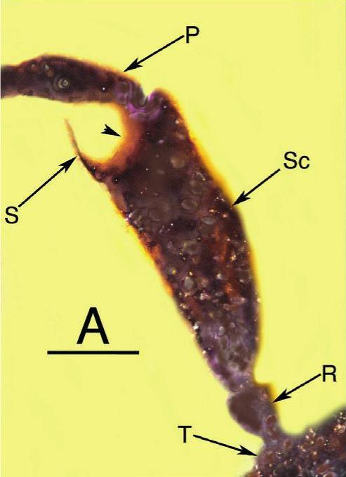 "An image of the ""scape"" on one of the bee's antennae, divided into 2 parts. This bifurcated scape has not seen before, in any known fossil or living bee. The scape is labeled ""Sc"" and appears divided into 2 branches, with 1 side ending as a small spur, labeled ""S."" Other labeled parts are ""T"" for torulus (basal socket joint that allows antenna movement), ""R"" for radicle (antenna joint attached to the head), and ""P"" for pedicle (antenna segment that creates an elbow-like joint with the scape). Image via George Poinar Jr./ BioOne Complete."