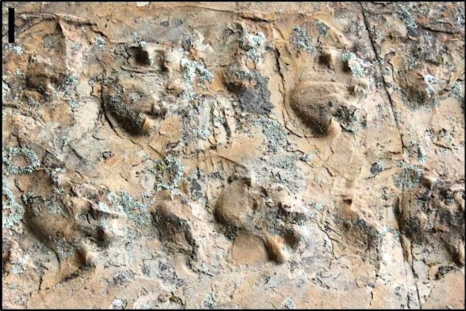 Closeup view of ichniotherium trackway/NPS