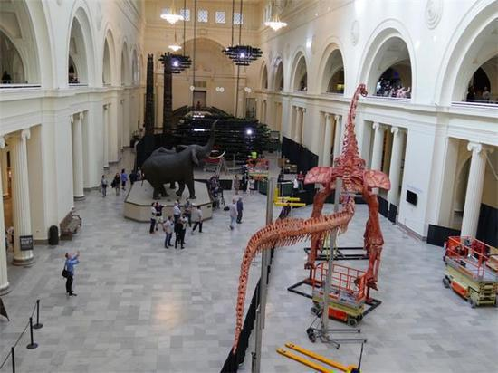 The biggest dinosaur called Maximo is exhibited at the Field Museum in Chicago. (Photo provided by Jian Ping to China Daily USA)