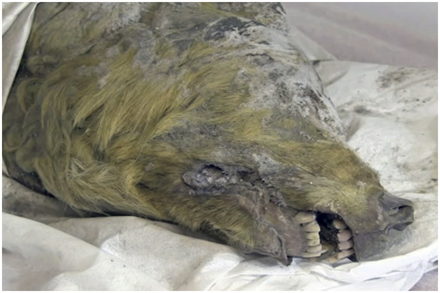 The head of an Ice Age wolf, at the Mammoth Fauna Study Department at the Academy of Sciences of Yakutia, Russia, June 10, 2019. Experts believe the wolf roamed the earth about 40,000 years ago, but thanks to Siberia's frozen permafrost its brain, fur, tissues and even its tongue have been perfectly preserved, as scientific investigations are underway after it was found in August 2018. (Valery Plotnikov/Mammoth Fauna Study Department at the Academy of Sciences of Yakutia via AP)
