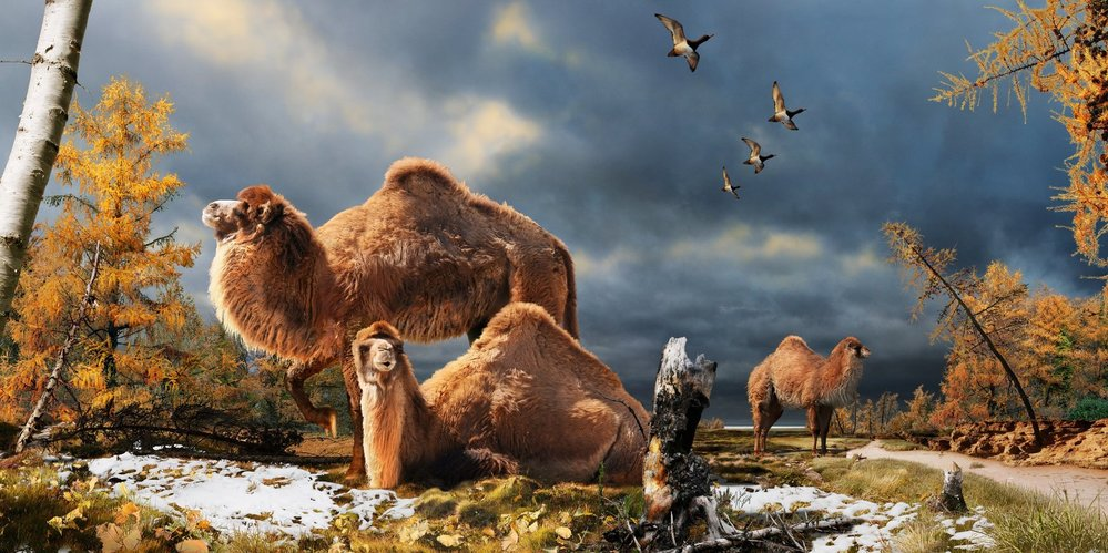 High Arctic camels, like those shown in this illustration, lived on Ellesmere Island during the Pliocene warm period about 3.5 million years ago. Julius Csotonyi