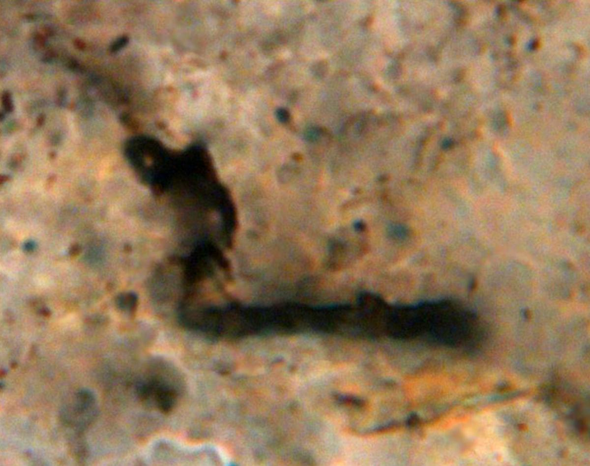 A 3.465-billion-year-old fossil microorganism from Western Australia. Image credit: J. William Schopf / Center for the Study of Evolution and the Origin of Life, University of California, Los Angeles.