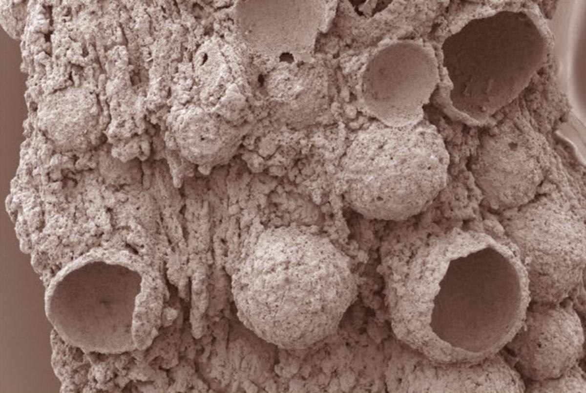 SEM micrograph of the fossilized bubbles. Image credit: Stefan Bengtson.