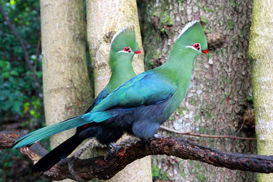 Modern turacos, like these Knysna turacos (Tauraco corythaix), are tree-dwelling and live exclusively in sub-Saharan Africa. Image credit: Anton Frolich / CC BY-SA 3.0.