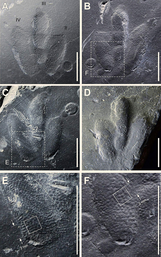 Minisauripus: natural impression (A) and cast (B) of track TL 2 showing area enlarged in frame F; note skin traces in hypex area between digits II and III; (C) natural cast of track TR1, showing area enlarged in frame E; note narrow, digit II intersecting raindrop impressions; (D) isolated track t; note skin traces in hypex area between digits II and III; E and F details of skin trace ornament in 2.0 x 2.0 mm areas of digits IV and II respectively from tracks TL2 and TR1; casts show in frames B-F are essentially replicas of the living foot. Image credit: Kim et al, doi: 10.1038/s41598-019-38633-4.