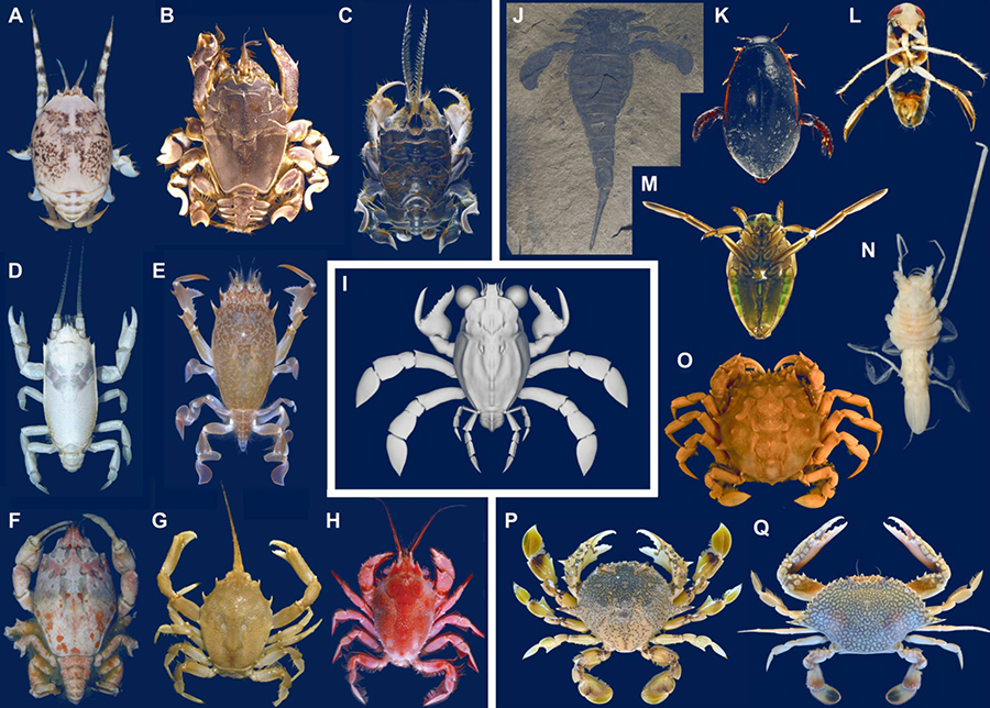 Convergent decarcinized body forms in various families of false and true crabs and convergent appendages in swimming and/or fossorial arthropods. (A to I) decarcinized crabs: (A to C) mole crabs — (A) Hippa marmorata, Taiwan, (B) Albunea occulta, Taiwan, (C) Blepharipoda occidentalis; (D) porcelain crab Euceramus panatelus, Panama; (E and F) frog crabs — (E) Raninoides benedicti, Panamá, (F) Symethis sp., Panamá; (G and H) masked burrowing crabs — (G) Corystes cassivelaunus, Belgium, (H) Jonas distinctus, Taiwan; (I) chimera crab Callichimaera perplexa, Colombia. (J to Q) Other aquatic arthropods with modified appendages for swimming and/or digging: (J) sea scorpion Eurypterus remipes, New York; (K to M) insects — (K) Cybister fimbriolatus, (L) Hesperocorixa kennicottii, (M) Notonecta undulate, last instar nymph, Alberta, Canada; (N) Munnopsis longiremis, Baja California, Mexico; (O to Q) Brachyura — (O) Orithyia sinica, China, (P) Matuta victor; (Q) Arenaeus cribrarius. Image credit: Luque et al, doi: 10.1126/sciadv.aav3875.