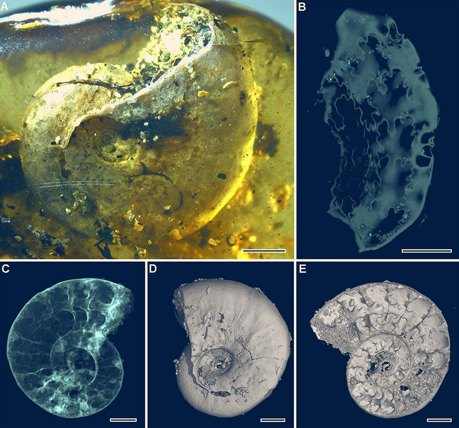The ammonite Puzosia sp.: (A) lateral view under light microscopy; (B) flattened sutures reconstructed by microtomography; (C) microtomographic reconstruction, apparent view; (D) microtomographic reconstruction, surface rendering; (E) microtomographic reconstruction, virtual section. Scale bars – 2 mm. Image credit: Yu et al, doi: 10.1073/pnas.1821292116.