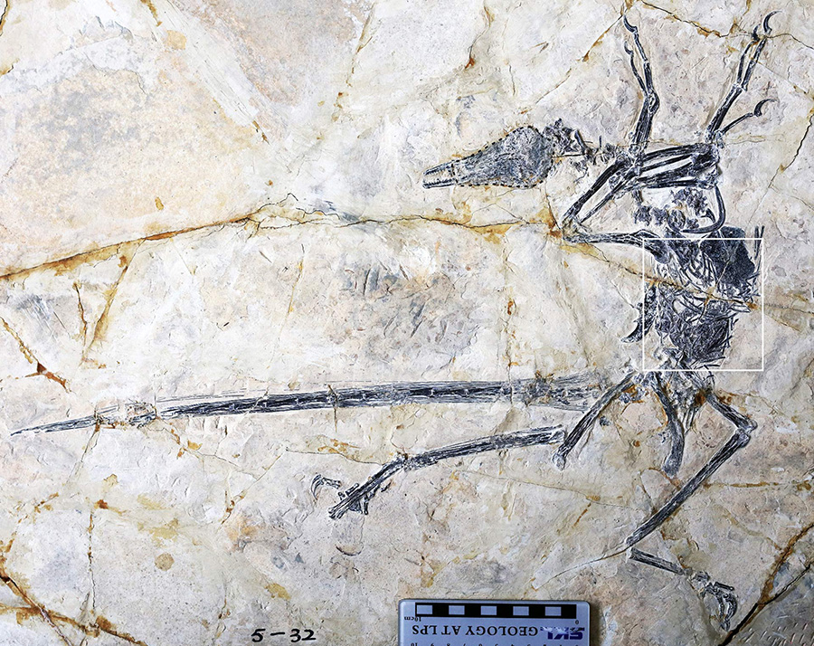 Microraptor preserving the lizard Indrasaurus wangi in the abdominal cavity. Image credit: O'Connor et al, doi: 10.1016/j.cub.2019.06.020.