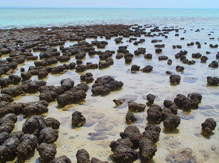 Baumgartner et al provide exceptional evidence for the biogenicity of some of Earth's oldest stromatolites through preservation of organic matter, including microbial remains, by sulfidization. Image credit: Paul Harrison.