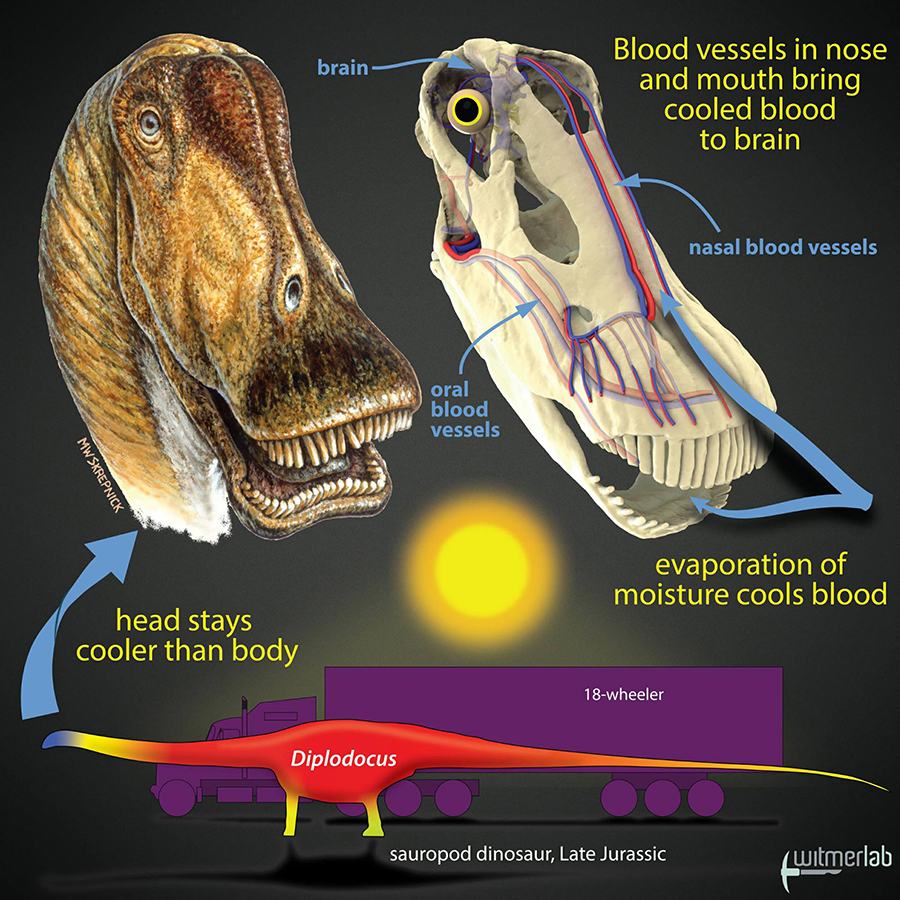 Gigantic dinosaurs like the sauropod Diplodocus, which weighed over 15 tons and was longer than an 18-wheeler truck, would have had problems with potentially lethal overheating. Hot blood from the body core would have been pumped to the head, damaging the delicate brain. The new study shows that in sauropods, evaporation of moisture in the nose and mouth would have cooled extensive networks of venous blood destined for the brain. Other large dinosaurs evolved different brain-cooling mechanisms, but all involving evaporative cooling of blood in different regions of the head. Image credit: Michael Skrepnick / WitmerLab, Ohio University.