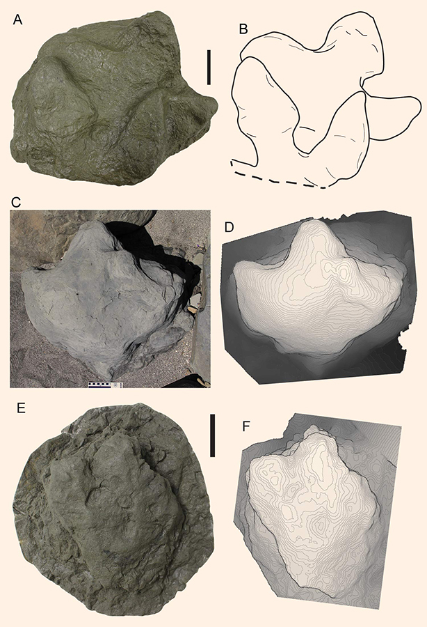 Representative hadrosaur tracks from Aniakchak National Monument. Scale bars in A through C – 10 cm, in E and F – 5 cm. Image credit: Fiorillo et al, doi: 10.1371/journal.pone.0223471.