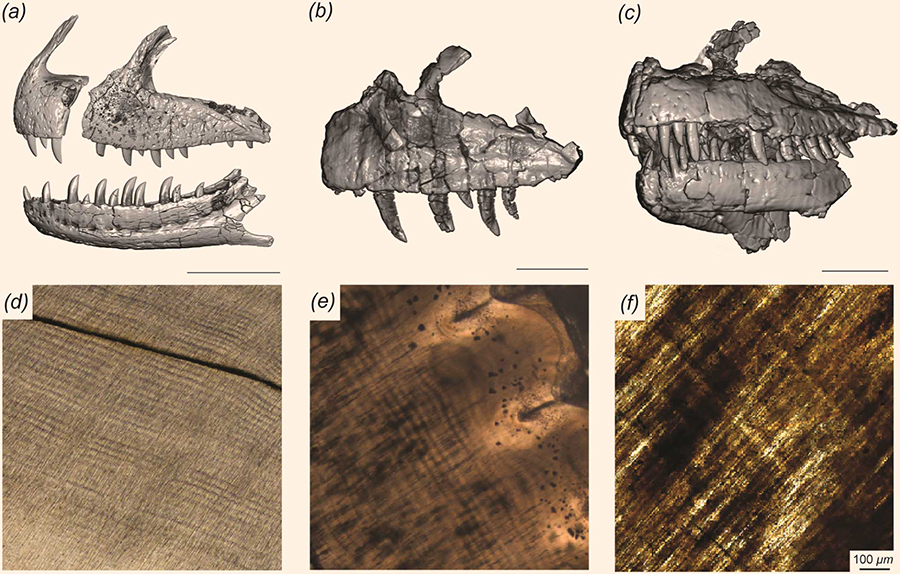 Craniofacial and dental histology of the predatory dinosaurs included in the study: (a) Allosaurus, (b) Ceratosaurus, and (c) Majungasaurus surface reconstructions derived from computed tomography data and dentine histology. Histological sections derived from (d) Majungasaurus, (e) Ceratosaurus, and (f) Allosaurus, illustrating incremental daily lines in dentine, which extend obliquely from upper left to lower right in each image. Scale bars – 10 cm (a-c) and 100 μm (d-f). Image credit: D'Emic et al, doi: 10.1371/journal.pone.0224734.