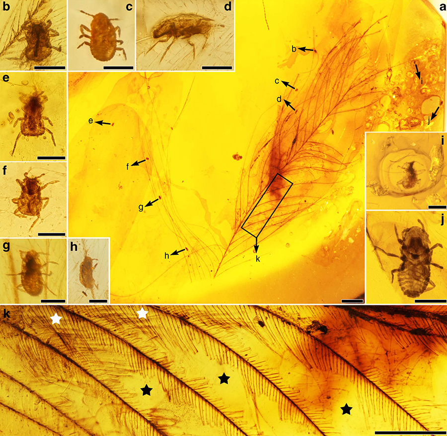 A piece of amber with the specimens of Mesophthirus engeli from the mid-Cretaceous of Myanmar: (a) photo of the whole feather and the locations of the insects, (b-j) Mesophthirus engeli specimens, (k) parts of the feather show complete areas at basal part and adjacent largely damaged area between barbs; representative, star in white referring to relatively complete barbules, star in blank referring to large areas of damages. Scale bars – 1 mm (a), 100 μm (b–j), and 0.5 mm (k). Image credit: Gao et al, doi: 10.1038/s41467-019-13516-4.