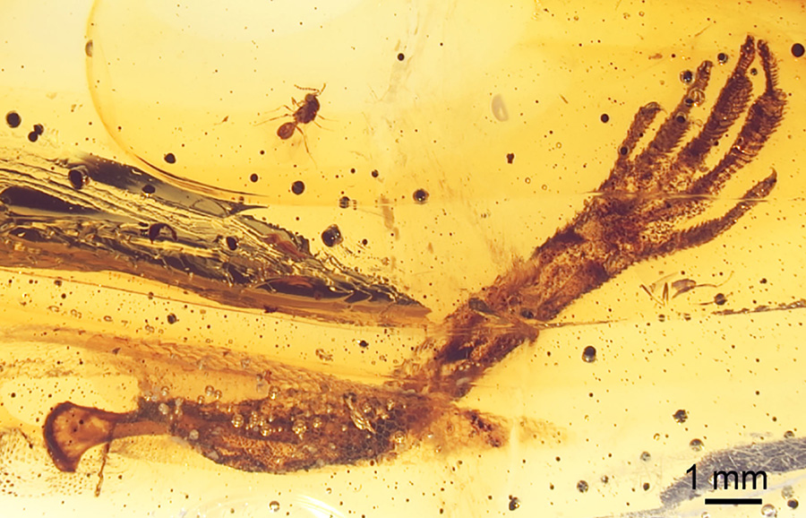 Light microscopic image of the piece of 15-20-million-year old Dominican amber; the specimen contains a fairy wasp and the left forelimb of an anole lizard; several flow structures can be recognized in the resin. Image credit: Barthel et al, doi: 10.1371/journal.pone.0228843.