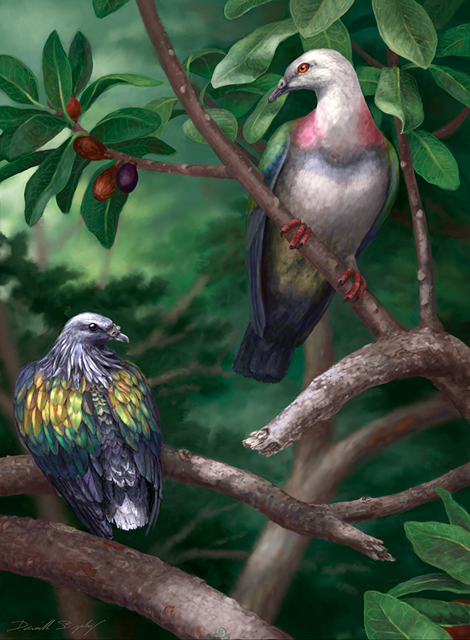 Tongoenas burleyi (right) likely featured the brightly colored plumage of other canopy-dwelling pigeons on the Pacific islands. On the left is the Kanaka pigeon (Caloenas canacorum), another large extinct Tongan species. Image credit: Danielle Byerley.