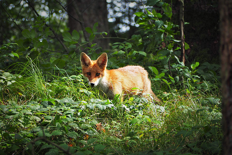 The red fox (Vulpes vulpes). Image credit: Shorty Ox.