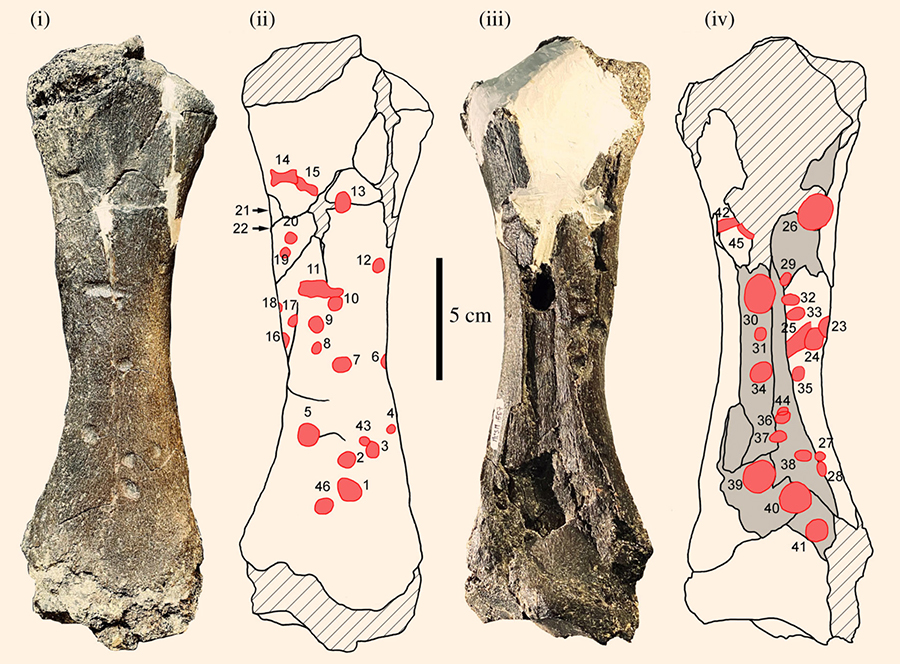 Left tibia of Pseudoprepotherium and mapping of the bite marks: photograph and schematic drawing in anterior (i and ii) and posterior (iii and iv) views. Image credit: François Pujos & Rodolfo Salas-Gismondi, doi: 10.1098/rsbl.2020.0239.