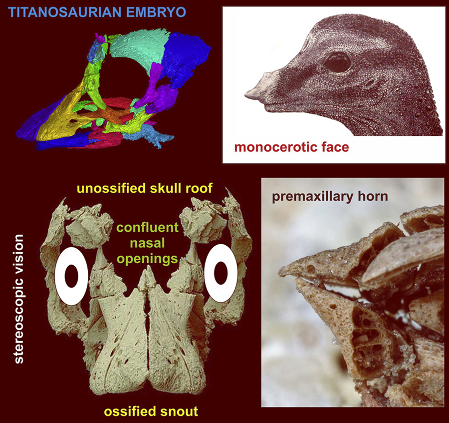 Kundrat et al describe an almost intact embryonic skull, which indicates the early development of stereoscopic vision, and an unusual monocerotic face for a sauropod dinosaur. The fossil also reveals a neurovascular sensory system in the premaxilla and a partly calcified braincase, which potentially refines estimates of its prenatal stage. The embryo was found in an egg with thicker eggshell and a partly different geochemical signature than those from the egg-bearing layers described in Auca Mahuevo, Patagonia, Argentina. Image credit: Kundrat et al, doi: 10.1016/j.cub.2020.07.091.