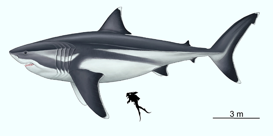 Paleoartistic reconstruction of a 16-m megalodon scaled against a 1.65-m human. Image credit: Oliver E. Demuth.