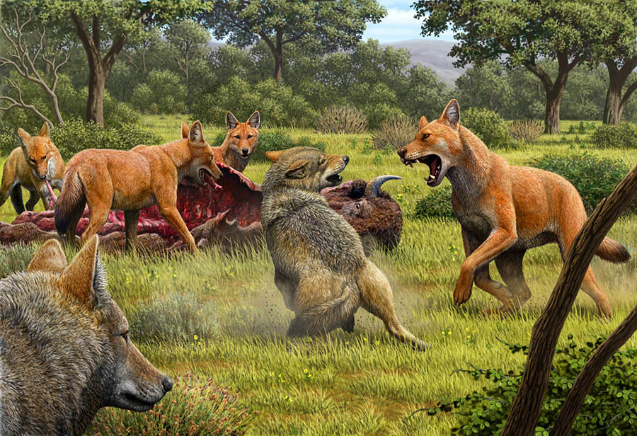 Somewhere in Southwestern North America during the Late Pleistocene, a pack of dire wolves (Canis dirus) are feeding on their bison kill, while a pair of gray wolves (Canis lupus) approach in the hopes of scavenging. One of the dire wolves rushes in to confront the gray wolves, and their confrontation allows a comparison of the bigger, larger-headed and reddish-brown dire wolf with its smaller, gray relative. Image credit: Mauricio Antón / Nature.