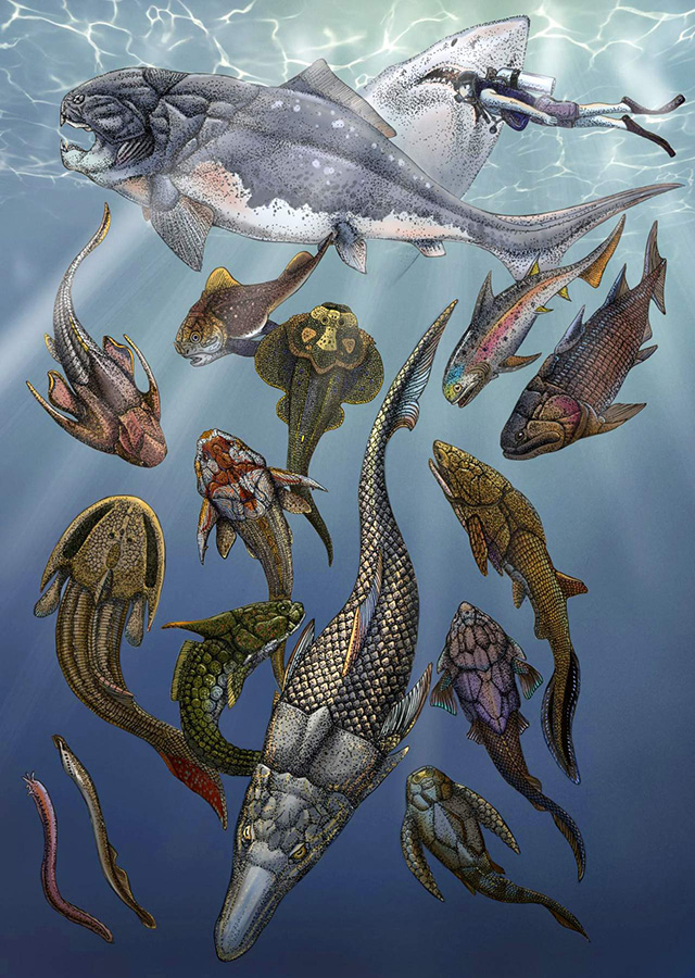 Artistic rendering of Brindabellaspis stensioi (foreground) with a range of other Devonian fossil fishes; the white shark and human diver in the upper right corner represent modern jawed vertebrates. Image credit: Hongyu Yang / Qiuyang Zheng.