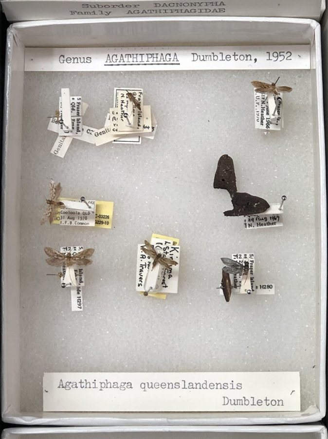 Our collection of kauri moths in the Australian National Insect Collection