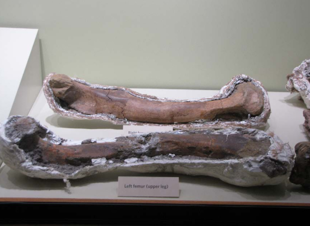 Left femur of Son of Sampson. (Photo Credit: Alan Detrich / eBay)