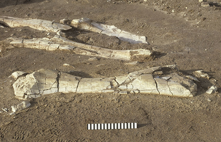 Even the largest dinosaur bones can be fragile and fracture. These sauropod bones were found in the Sahara Desert in the 1980s.
