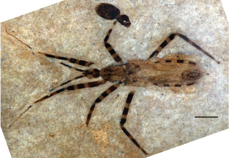 "This poor fossilized assassin bug's tiny penis is being closely scrutinized by paleontologists who consider the find ""a rare treat""—because it has been so extraordinarily preserved."