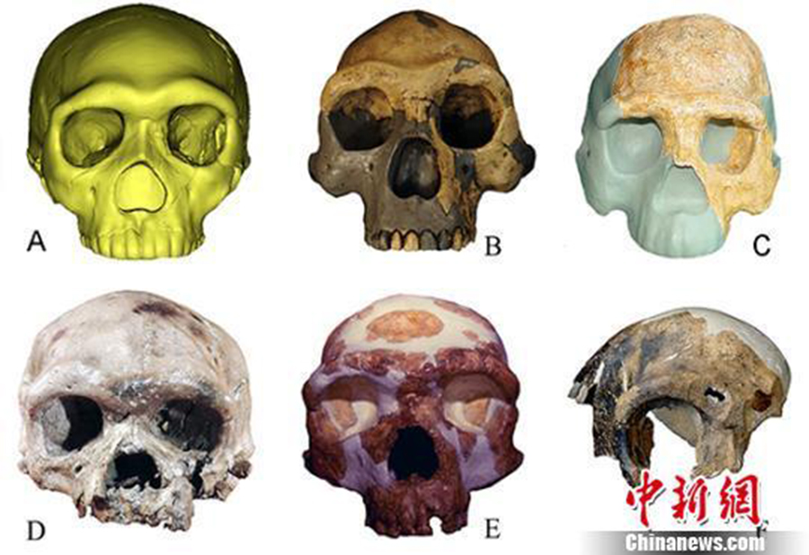 Different types of ancient human fossils in contrast: A. Human fossil from Hualong Cave B. Peking Man fossil from Zhoukoudian site C. Fossil of Nanjing Homo erectus D. Human fossil found at the Dali Man site E. Human fossil found at Jinniushan Site F. Fossil of Maba Man. (Photo: China News Service)