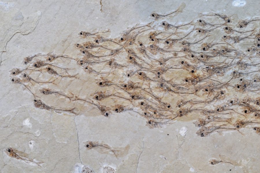 The fossil of the extinct fish species Erismatopterus levatus, which Dr. Nobuaki Mizumoto spotted at a museum while on vacation in Japan. Mizumoto et al.