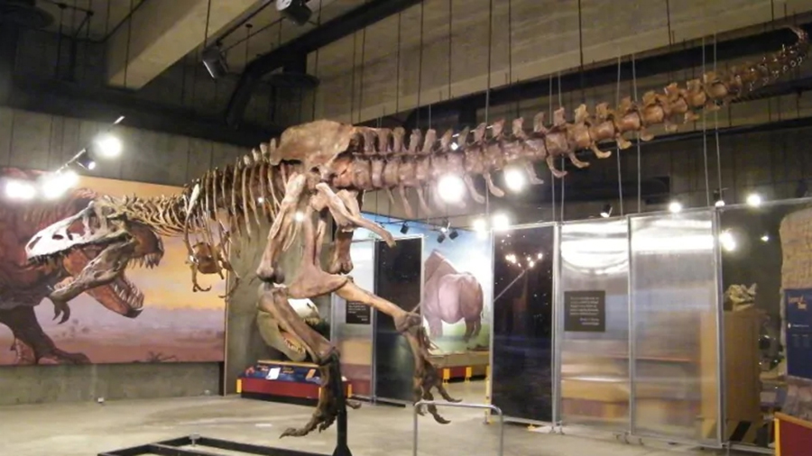 'Scotty' the T-rex was discovered near Eastend, Sask., in 1991, but its full remains only began to be excavated in 1994. This weekend, Scotty celebrated the 25th anniversary of that excavation. (Royal Saskatchewan Museum)