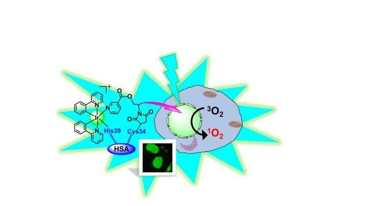 Iridium with its organic coat which is hooked up to the protein albumin (HSA). Together that enter cancer cells and deliver the iridium photosensitizer to the nucleus. On irradiation with blue light, the iridium not only glows green, but converts oxygen in the cell to a toxic form called triplet oxygen, which kills the cell. Credit: University of Warwick