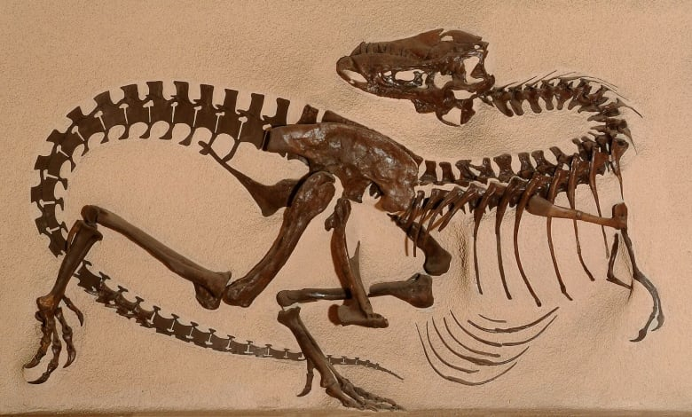 Legendary American fossil hunter Barnum Brown discovered the Gorgosaurus skeleton near the Red Deer River in 1913. (Smithsonian Institution)